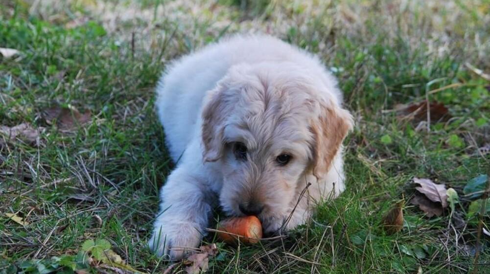 Kan hunde tåle grøntsager?