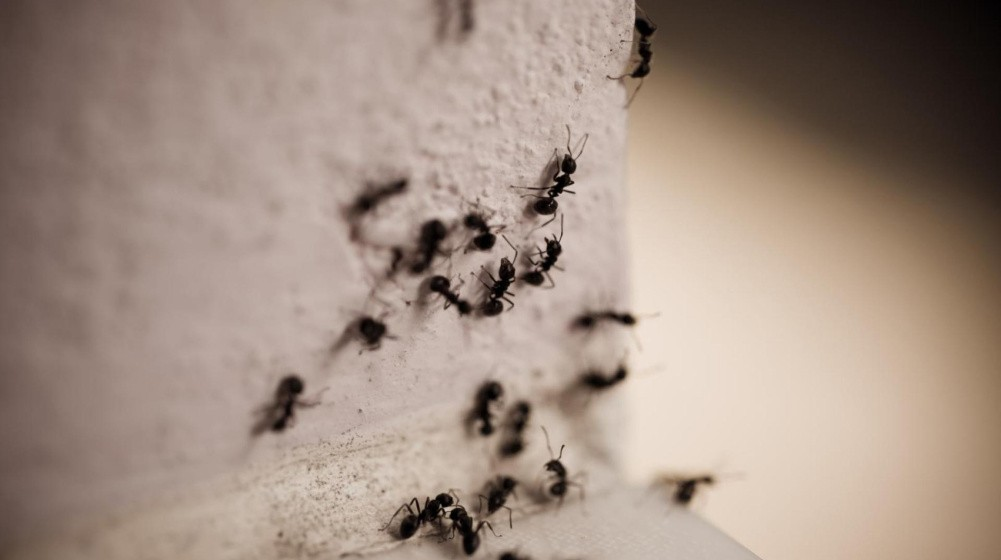 Kanel mod myrer - fup eller fakta?
