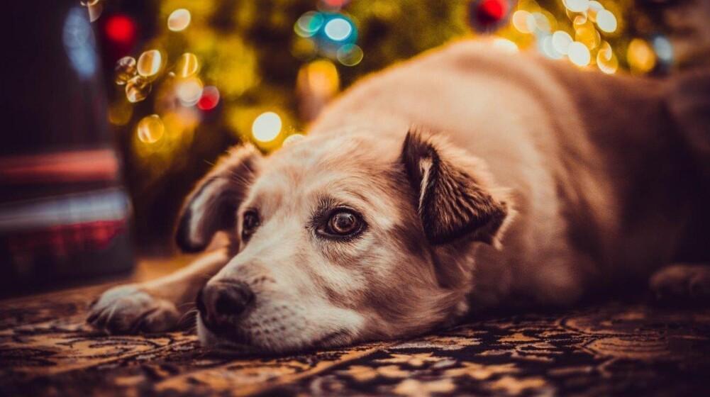 Forkæl ikke din hund med julemad