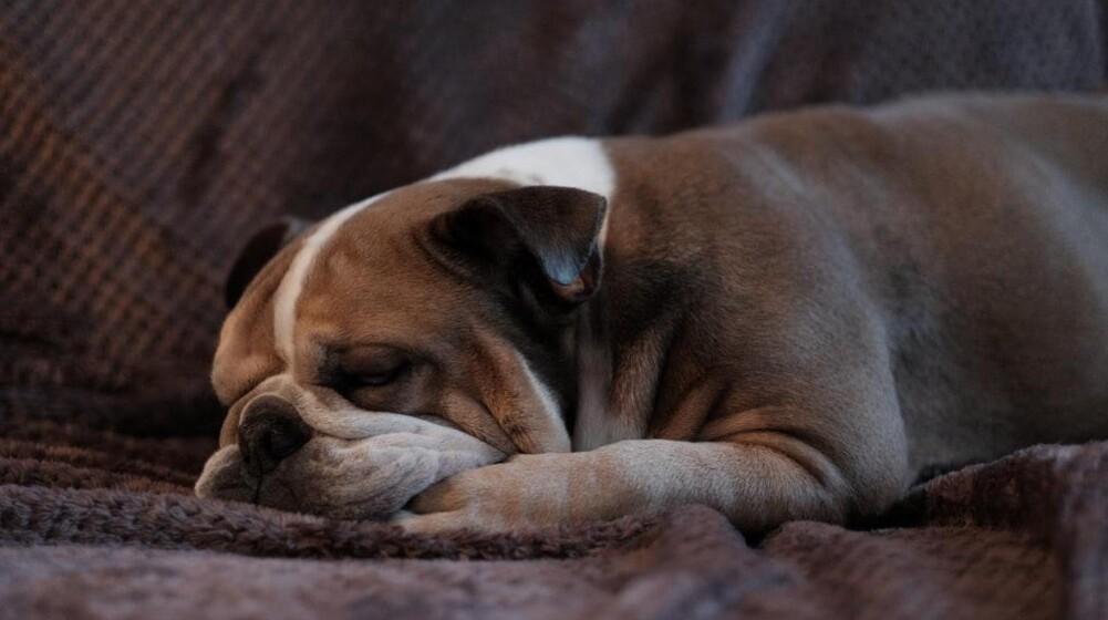 Nytårsaften er et helvede for hunden