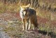 Sikre spor efter 19 forskellige ulve...