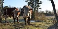 Stor opbakning til kødkvægskue
