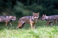 Bliv klogere på ulven