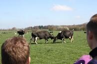 Økologiske køer dansede for publikum