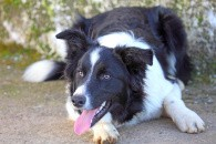 Hundes intelligens kan måles