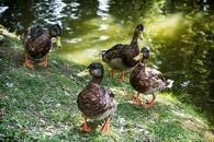Fugleinfluenza i fynsk gråandebesætning