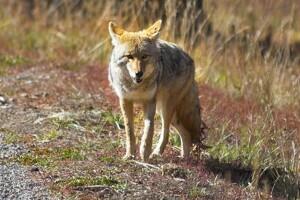 Ny ulvealarm i Midtjylland