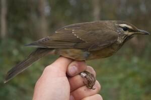 Ny fugleart i Danmark