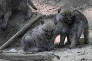 Ulvehvalpe i naturen til sommer