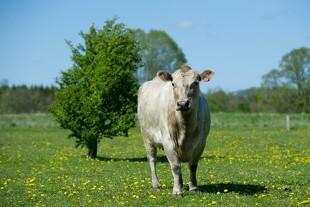 Danmarkspræmiere på ny kødkvægsrace