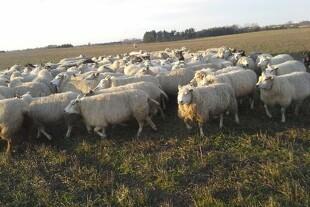 Ny forening for fåreavlere