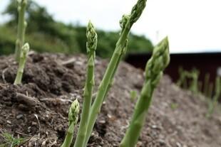 Et aspargesbed kræver forberedelse