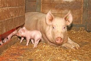 Hjerter skal give bedre dyrevelfærd