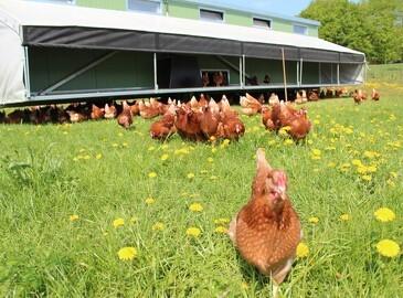 Mobile hønsehuse giver masser af æg