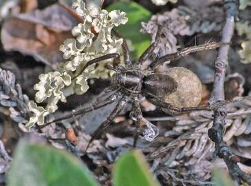 Babyboom hos edderkopper i et varmere Arktis