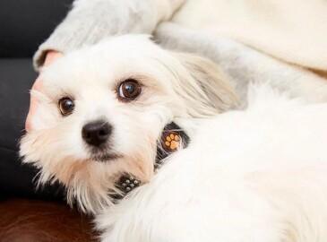 Smartwatch til hunde øger livskvaliteten for både kæledyr og ejer