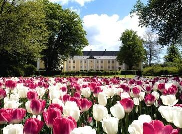 Danmarks største Tulipanfestival er åben for besøg