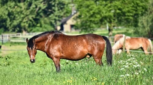 Forårets hesteplage er forfangenhed