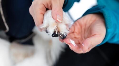 Sådan beskytter du hundens poter mod vejsalt