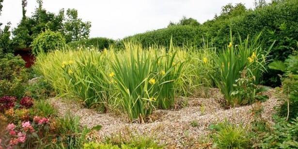 Spildevands-rens med tagrør og gul iris