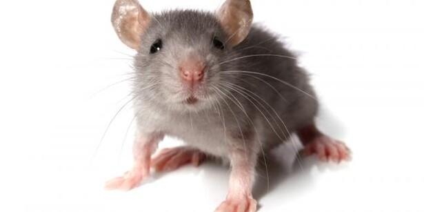 Visse musegifte må fremover kun bruges af rottefængerne