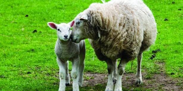 Så er det tid til fåredage på Hedeland