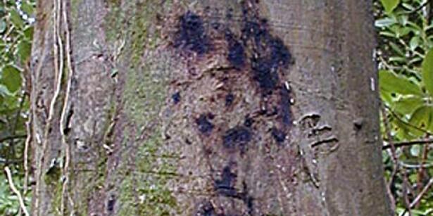 Danske løvtræer ramt af ny alvorlig sygdom
