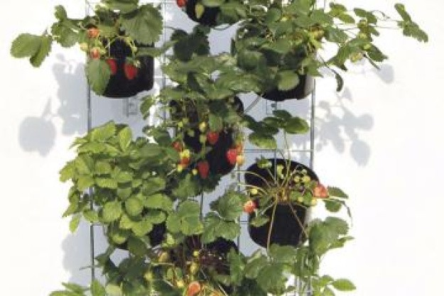 Lav en jordbærvæg på terrassen
