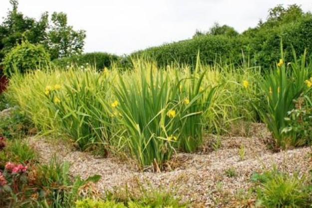 Gul iris er en af de planter, der effektivt renser spildevand i et beplantet filter.
