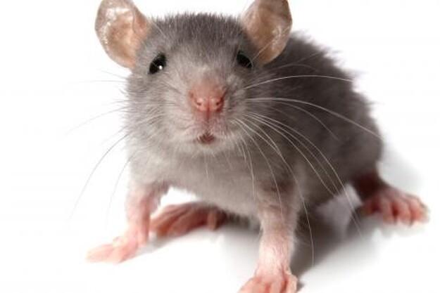 Det er fremover kun professionelle rottebekæmpere, der må bruge gifte med difethialon.