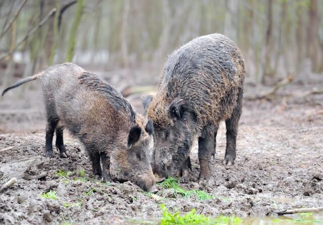 35 vildsvin er nedlagt i kampen mod afrikansk svinepest