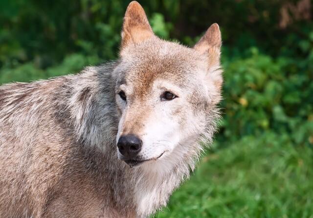Tre ulve bag gentagne angreb på husdyr
