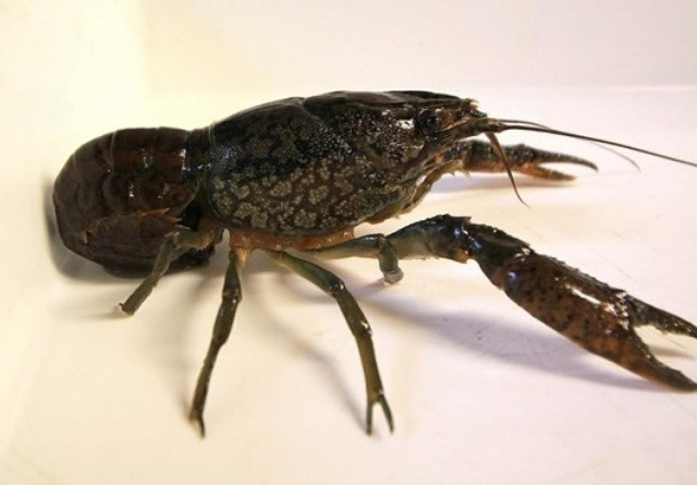 Ny invasiv art fundet i Jylland