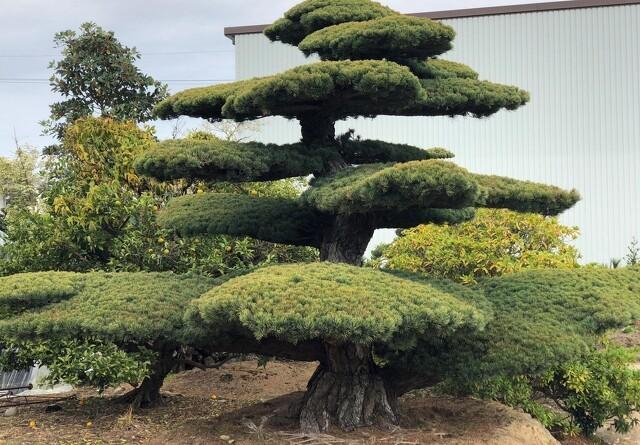 Unikke bonzai-træer på messe