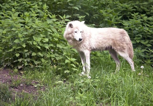 Ulv bag massakre på vestjyske får