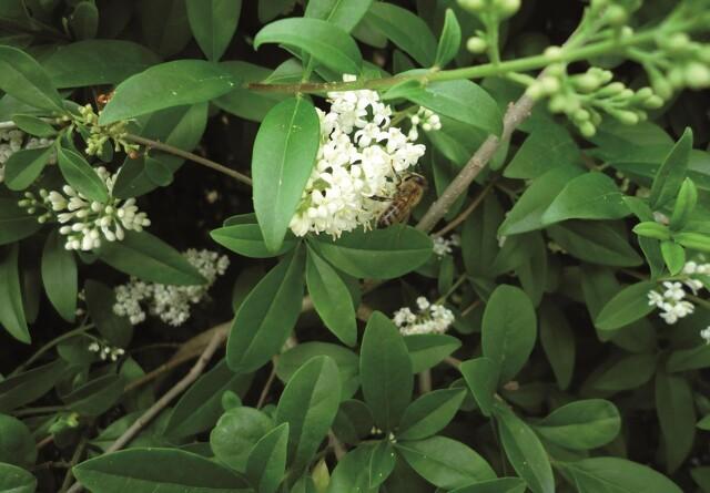 Blomstrende ligusterhække giver mætte bier