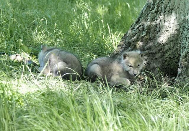 Nye ulvehvalpe i Vestjylland