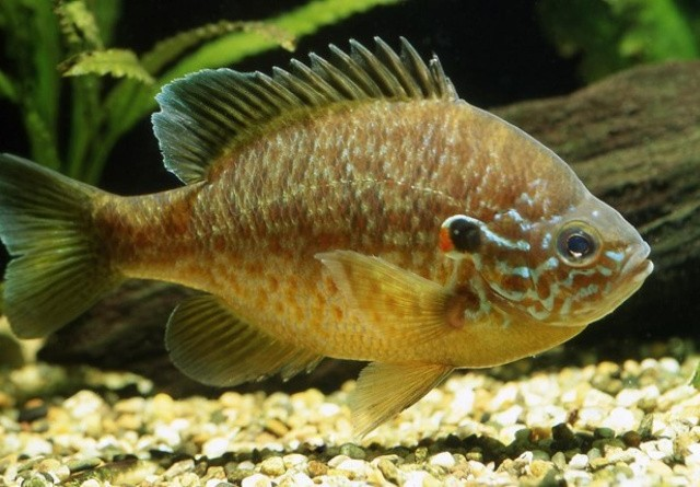 17 nye invasive arter i Danmark