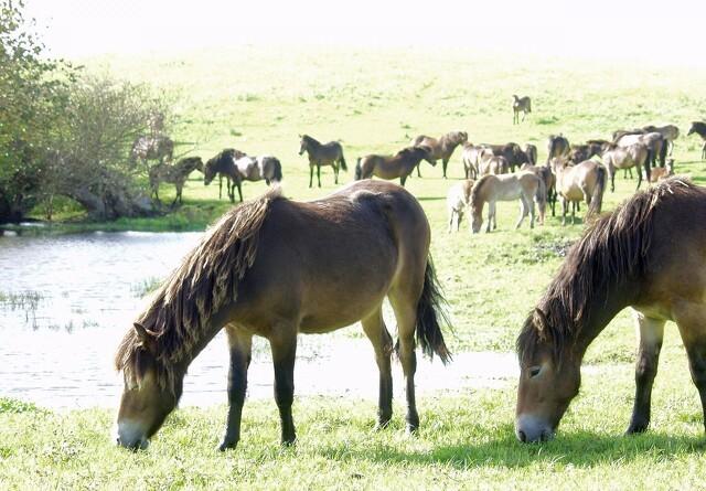 Vilde heste slippes fri i Nordjylland