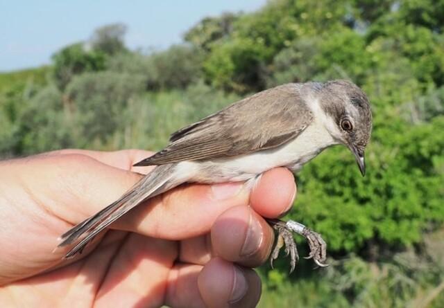 Oplev småfuglenes efterårstræk fra første parket