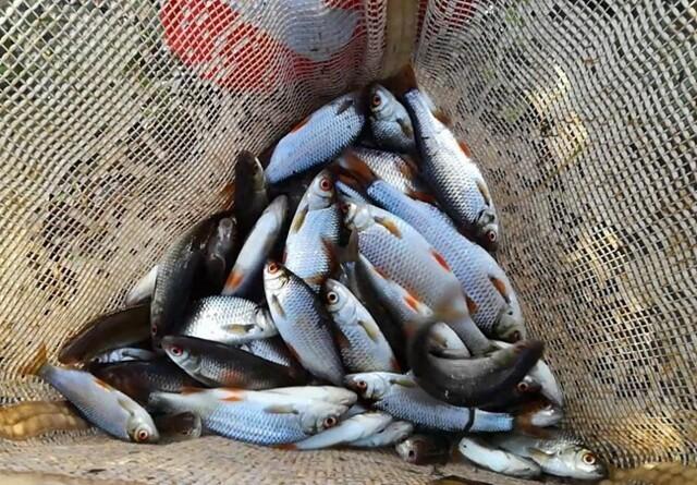 Usædvanligt mange fisk i vestjysk å