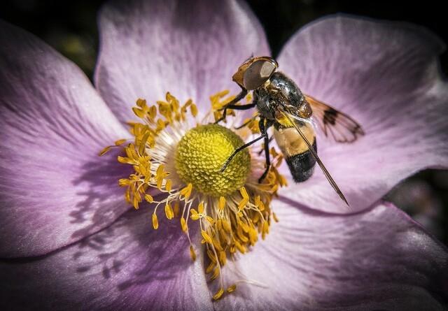 Ny national bestøverstrategi skal beskytte bier bedre