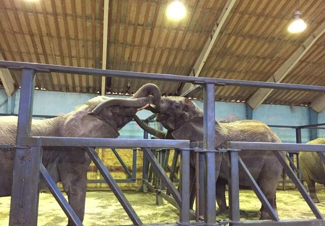 Cirkuselefanter er blevet forenet