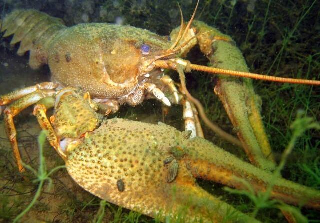 Invasiv galizisk sumpkrebs er fundet i Jylland