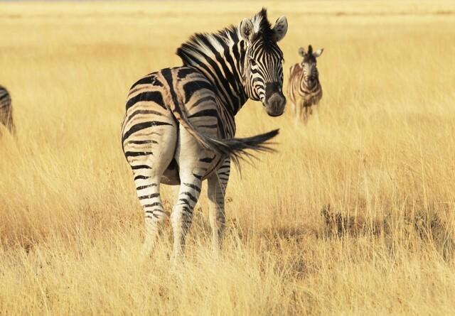 Ny viden: Derfor har zebraen striber