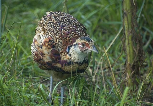 Fasankyllinger giver øget risiko for fugleinfluenza
