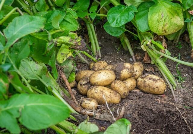 Sådan dyrker du kartofler