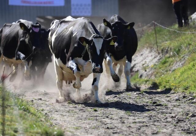 Øko-køerne sprang ind i stuerne