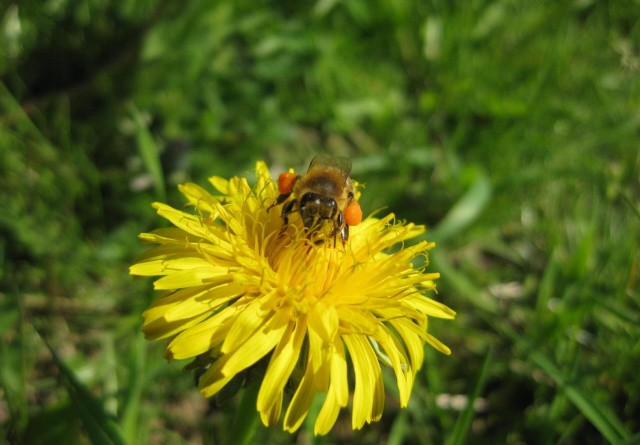 Mælkebøtter er guld for bier
