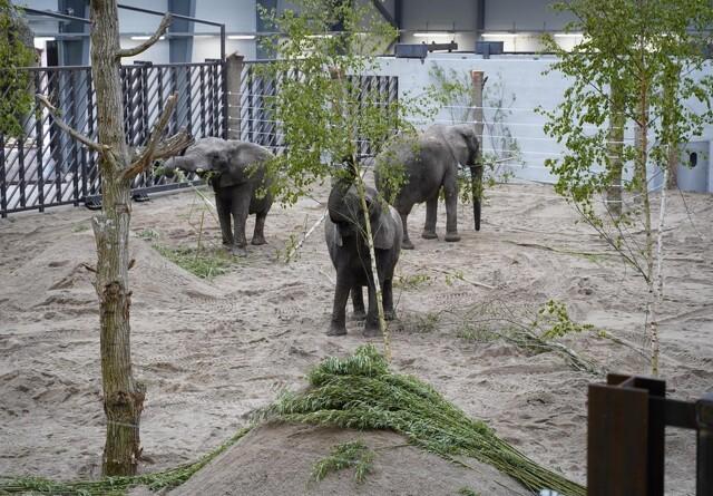 De pensionerede cirkuselefanter er flyttet ind hos Knuthenborg Safaripark